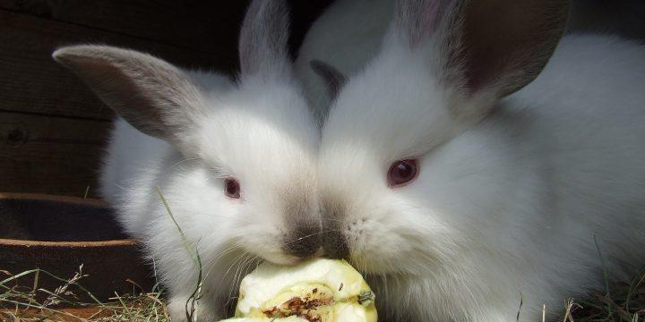 Sezon szczepień królików